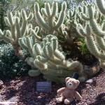 teddy bear cholla
